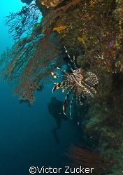 watching the lionfish by Victor Zucker 